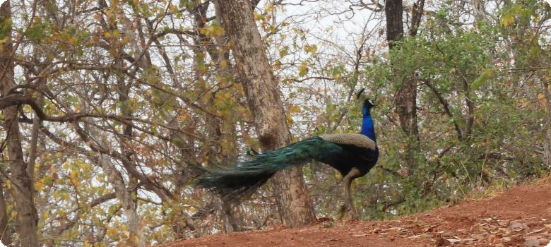 Peacock dancing away, Nagzira, Maharashtra