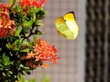 Yellow butterfly like morning sun