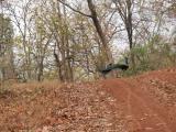 Welcoming majestic peacock, Nagzira Tiger Reserve