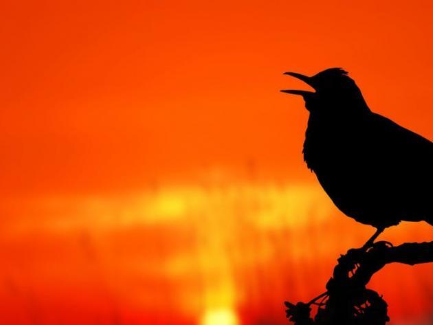 Little bird sings at dusk and dawn