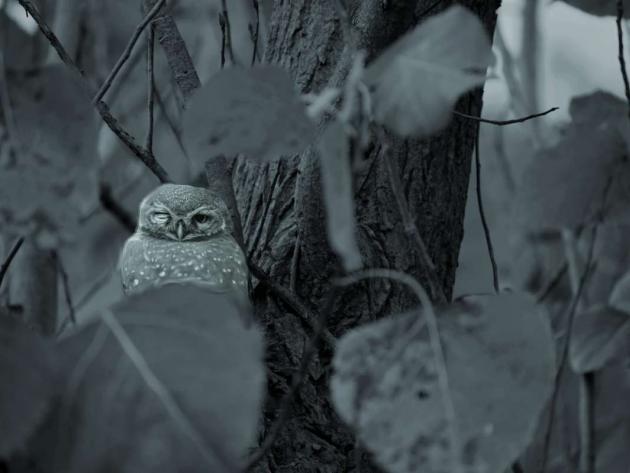 Owlet's inquisition