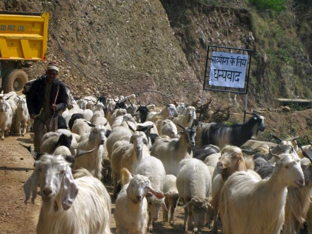 River of lamb and goats