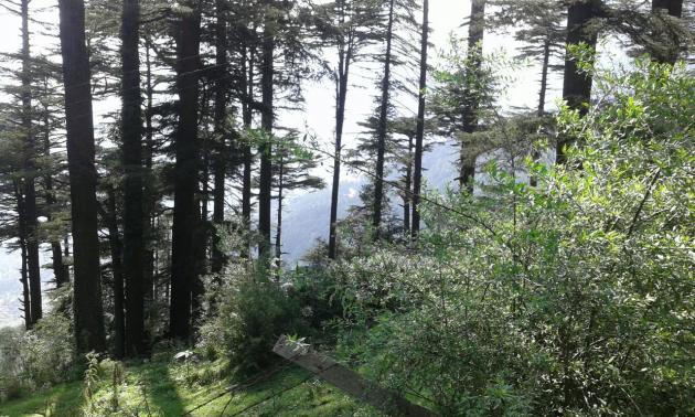 Tall conifers, Patnitop